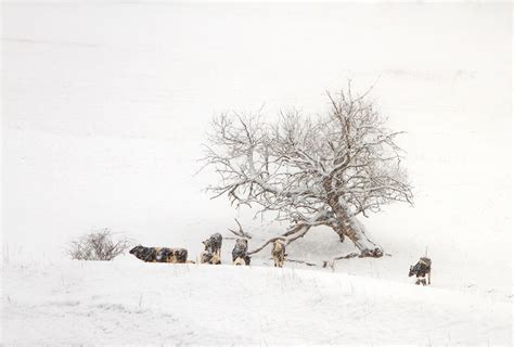 Cows In A Snow Storm by John Radosevich