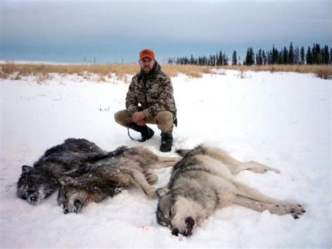 POLL: Should the wolf cull in Ontario be stopped