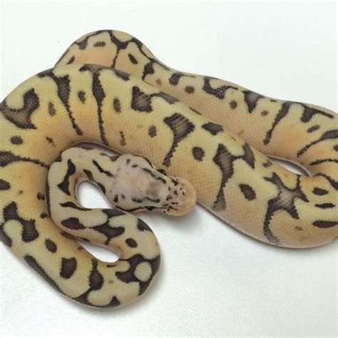 Killer Bee Ball Python For Sale With Live Arrival