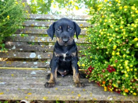 Registered solid coat catahoula puppies for sale in Fort