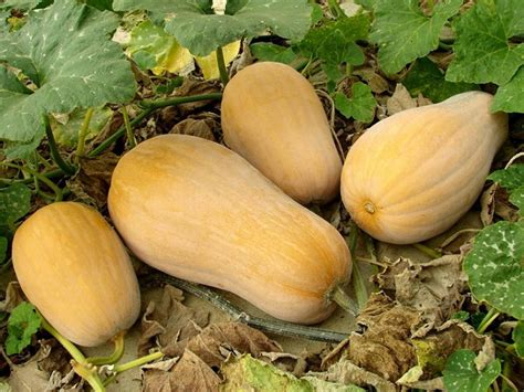 Signs on How to Tell If Butternut Squash is Ripe