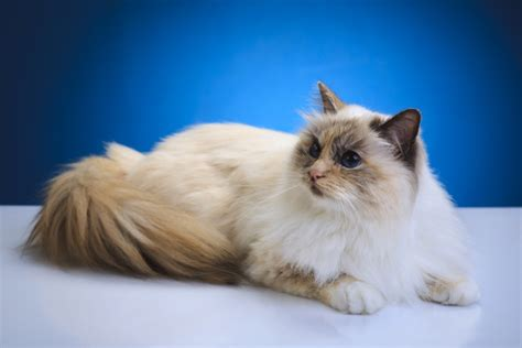 In Honor of Colonel Meow: 6 Long-Haired Cat Breeds I Love