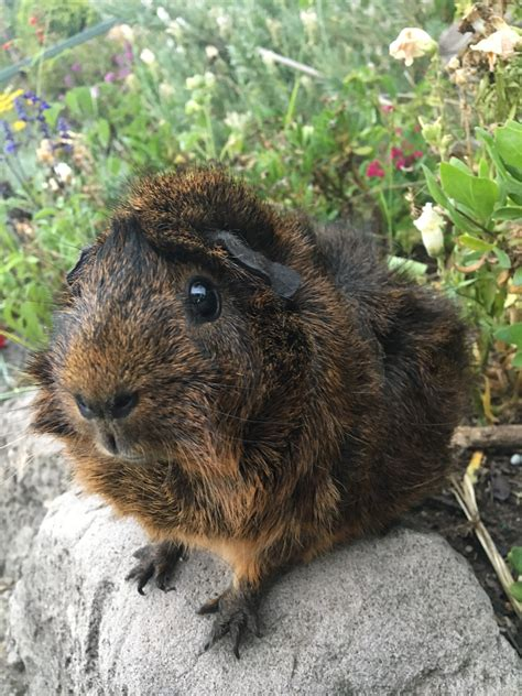 Nia - Female Short-hair Abyssinian Guinea Pig in NSW