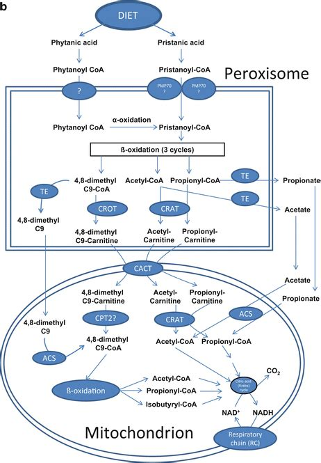 Peroxisomes in Humans: Metabolic Functions, Cross Talk