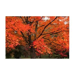 Red Red Maple Photograph by Rosanne Jordan