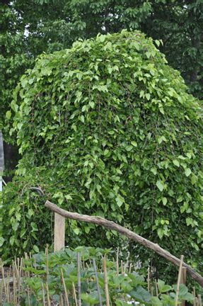 Dwarf Weeping Mulberry - Edible Landscaping