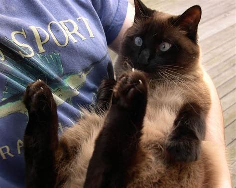 ADOPTED - Lulu - Sweet Purebred Siamese Cat For Adoption