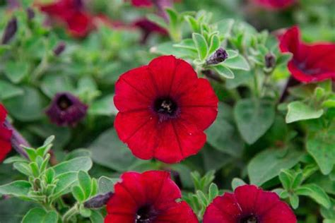 Patriotic Gardening with Red, White & Blue Annuals