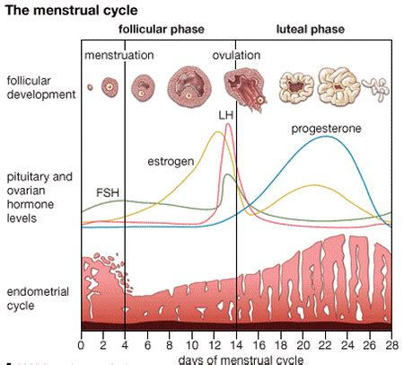 menstrual cycle - Why do FSH and LH hormones drop in