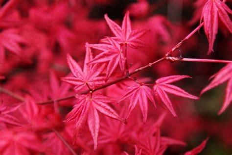 All About the Japanese Maple - Growing Family